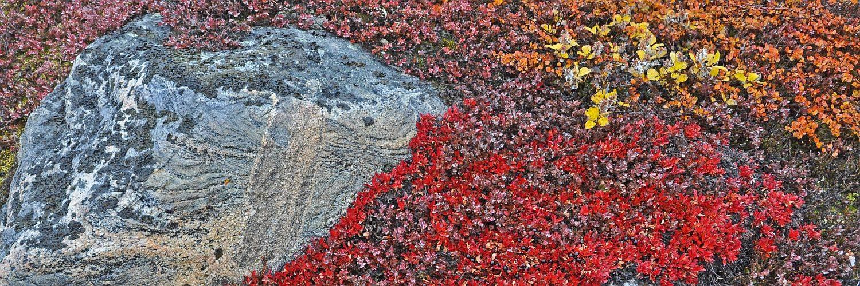 Herbstvegetation in Nordost Grönland