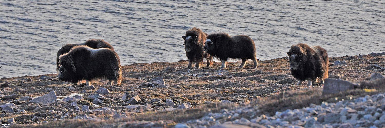 Moschusochsen in Nordost - Grönland