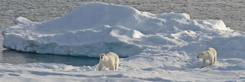 Eisbären auf Meereis