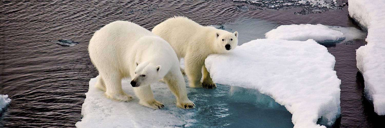 Eisbären - gesichtet bei einer Nordwest Spitzbergen Reise