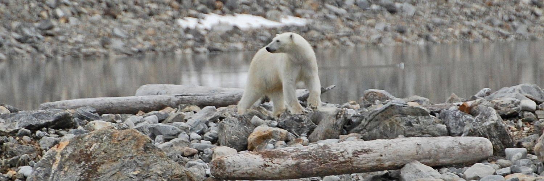 Eisbär - regelmäßig wird das große Raubtier bei der Nordwest Spitzbergen Reise gesichtet
