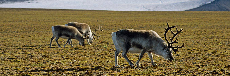Spitzbergen Kvitöya Reise - grasende Rentiere