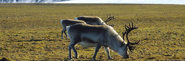 Spitzbergen Rentiere