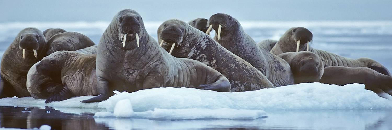 Walrosse auf Eisscholle - die großen Robben werden regelmäßig bei der Nordwest Spitzbergen Reise gesichtet