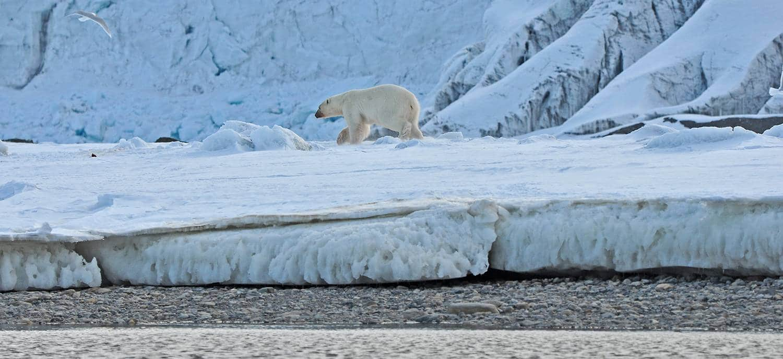 Eisbär - das Highlight jeder Nordwest Spitzbergen Kreuzfahrt