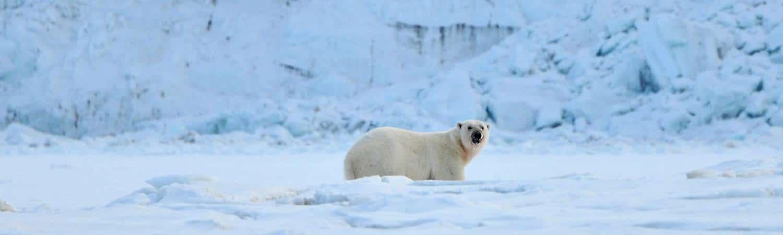 Eisbär sichernd vor Gletscherwand