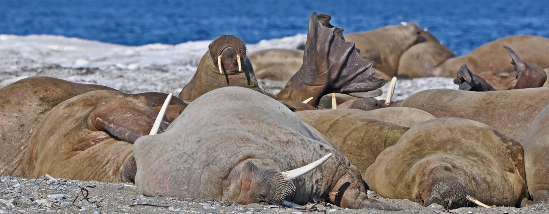 Ruhende Walrosse an der Westküste Spitzbergens