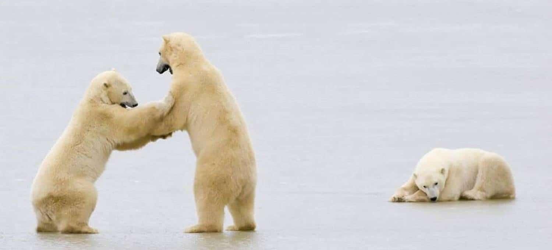 Eisbären - ein Highlight jeder Nordwest Spitzbergen Reise