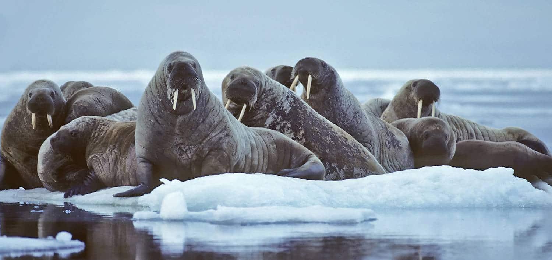 Walrosse auf Eischollen - Spitzbergen Kvitöya Reise