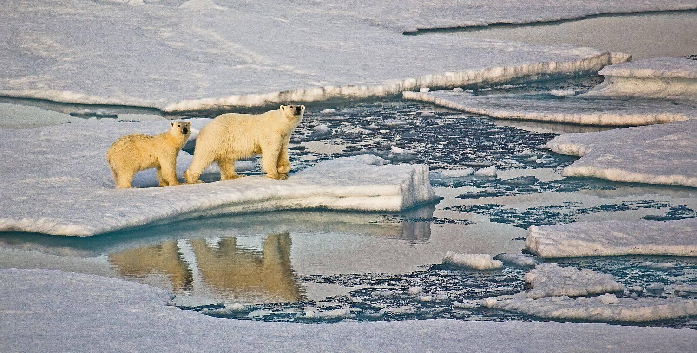 Eisbärin mit Jungem auf Meereis