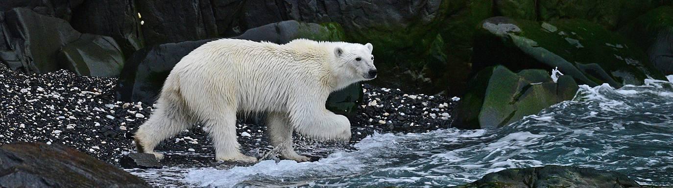 Junger Eisbär an schwarzem Strand